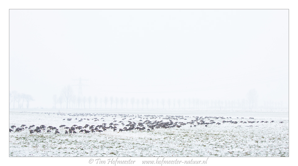 Greater white-fronted geese in a snow covered meadow Canon 5DmIII, 70mm, 1/200 @ f/8, iso 400