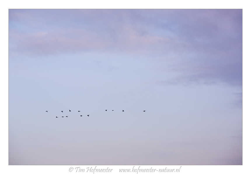 A group of geese flies over the Markermeer from their sleeping area towards their foraging area Canon 5DmIII, 135mm, 1/400 @ f/8, iso 400