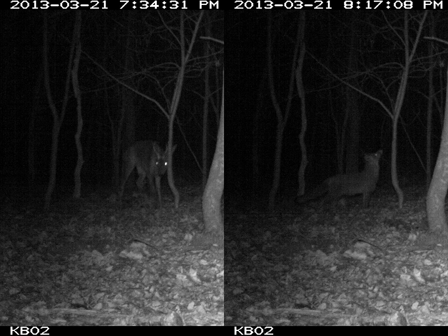 Roe deer and Red fox caught on camera