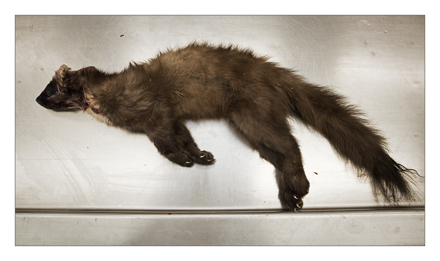 A young pine marten female which was found as a road kill near Deventer