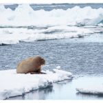 Walrus and Ivory gull on the pack ice near Greenland